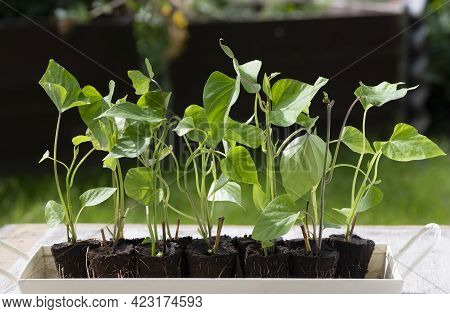 A Group Of  Rooted Sprouting Sweet Potato Slips, A Dicotyledonous Plant Convolvulaceae Related To Th