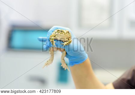 Veterinarian Examines A Toad In A Veterinary Clinic. Exotic Animals. Health Of Pet. Animal Care. Pet