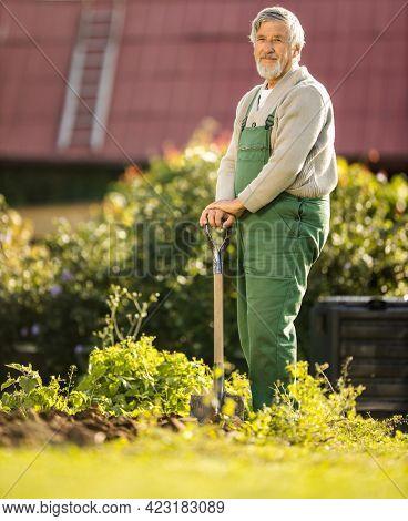 Senior gardenr gardening in his permaculture garden -  holding a splendid Savoy Cabbage head