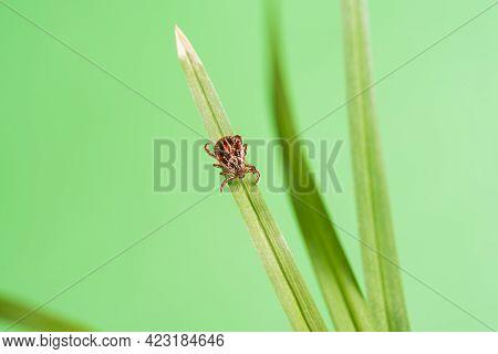 Parasite Mite Sitting On A Green Grass. Danger Of Tick Bite.