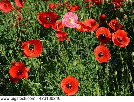 Red Poppy Flowers Background. Papaver Rhoeas, Corn Poppy, Or Flanders Poppy Red Flowers, Buds And Ca