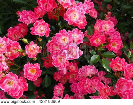 Closeup Of A Bush Of Pink Roses In The Summer Garden Under The Sunlight. Pink Spray Roses With Many