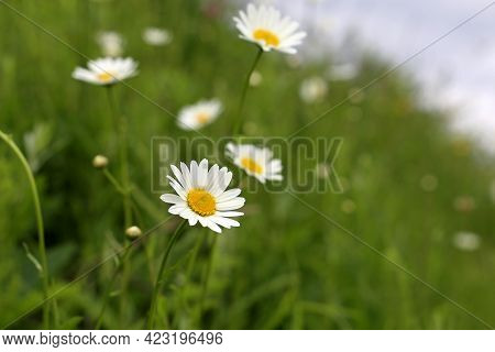 White Daisy Flowers On Summer Meadow In Green Grass. Chamomiles Blooming On Hill Slope, Beauty Of Na