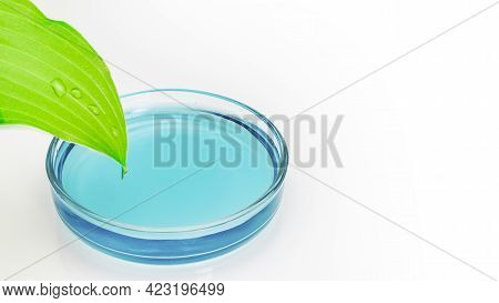 Glass Petri Dish With Blue Water Into Which Drops Flow From A Green Leaf On A White Background. Biot
