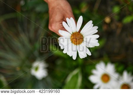 Beautiful White Chamomile (chamomile) In A Female Hand In The Garden Close-up