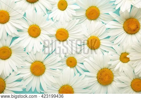 Chamomile Background. Blooming Chamomile Field, Chamomile Flowers. Top View.