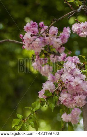 In Spring, Cherry Blossoms And Pink Flowers Bloom. Prunus Serrulata 'kanzan'