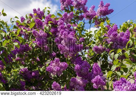 Lilac In The Garden. Blooming Lilac-purple Flowers, Selective Focus. A Branch Of Lilac In The Sunlig