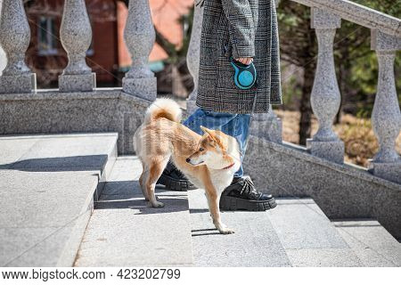 Adorable Red Shiba Inu Dog In A Red Collar Goes Down The Stairs Of A Stone Staircase Next To Its Own