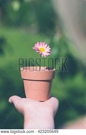 Holding A Pretty Pink Daisy Flower In A Flowerpot And Learning About Gardening With Copy Space