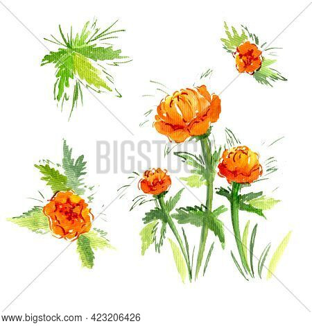 Watercolor Branch Five Orange Buttercup Flower On White Background. Isolated Yellow Buttercups Flowe