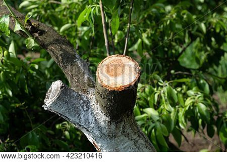 Wound Of Sawn Branch Fruit Tree Trunk. Seasonal Sanitary Pruning And Rejuvenating Of Orchard Trees