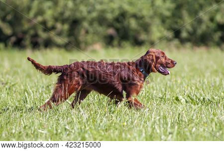 Happy Irish Setter Pet Dog Puppy Walking In The Grass In Summer