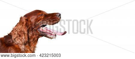 Isolated Panting Drooling Pet Dog Head In Summer On White Background.. Web Banner With Copy Space.