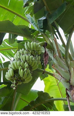 Green Abanana, Raw Bananas, Banana Tree. Green Abanana, Raw Bananas, Banana Tree.a Leaf Green Tree B