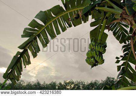 Green Abanana, Raw Bananas, Banana Tree
