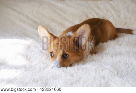 Small Red Welsh Corgi Pembroke Puppy With Big Ears Hid His Nose In A Fluffy Shaggy White Blanket