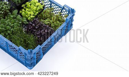 Mixed Greens In Growing Trays In A Box On A White Background. Onion, Basil And Radish Microgreens, M