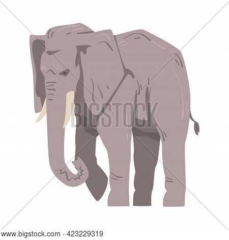 Walking Elephant As Large African Animal With Trunk, Tusks, Ear Flaps And Massive Legs Vector Illust