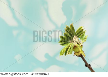 Horse Chestnut Flower Ovary On A Light Background. Young Green Leaves