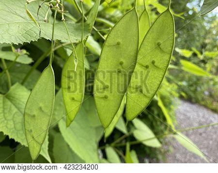 The Perennial Honesty (lunaria Rediviva), Das Ausdauernde Silberblatt, Wildes Silberblatt Oder Mondv