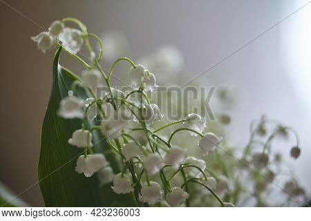 Lily Of The Valley Flowers With Raindrops Flowing Down The Leaves And Flowers.