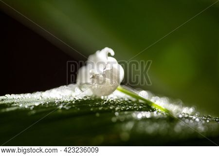 Lily Of The Valley Flowers With Raindrops Flowing Down The Leaves And Flowers. Blooming Ecology Natu