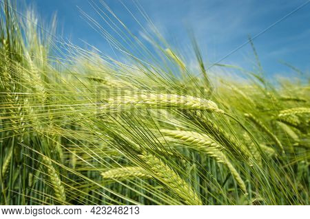 Green Barley, Wheat Ear Growing In Agricultural Field. Green Unripe Cereals. The Concept Of Agricult