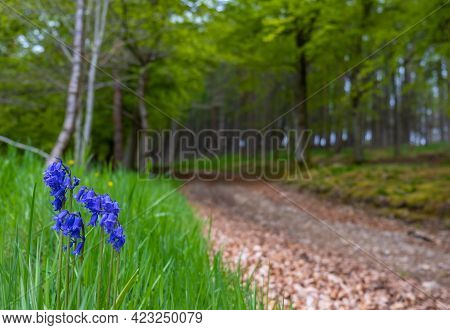 Tranquil Forest Scene Of Bluebell Flowers With A Trail Leading Off Into The Distance