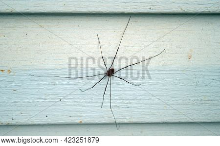 A Close Up Look At A Granddaddy Longleg Spider That Rests On The Vinly Siding Of A Missouri Farm Hom