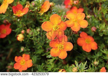 Closeup Of Orange Potentilla Shrub Flowers In Summer
