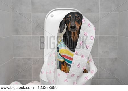 Funny Dachshund In Colorful T-shirt Wrapped With Toilet Paper Sits On Toilet Bowl In Restroom With G