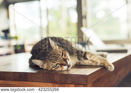 fat tabby domestic cat sleeping on table at home