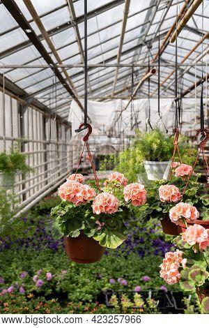 Growing Geranium Seedlings In Professional Greenhouse: Beautiful Pink Pelargonium Flower In Pot Hang