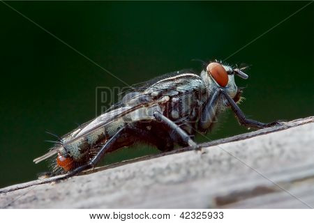 Wild Fly  In The Bush