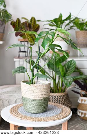 Exotic Houseplant With Botanic Name  'rhaphidophora Tetrasperma'  With Holes In Leaves Placed On Tab