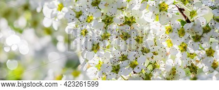 White Flowers Thunberg Spirea In Sunny Spring Day. Blurred Background