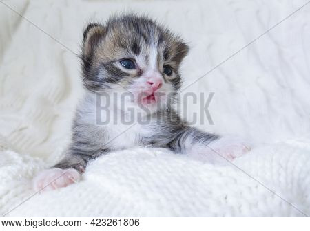 The Three-color Kitten Lies On A White, Knitted Blanket. A Forested Pet On A White Background. A Ver