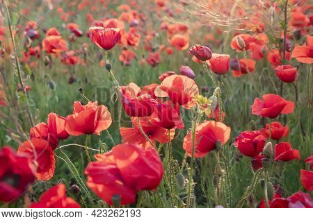 A Field Of Bright Red Blooming Poppies At Sunset, Summer Mood. A Beautiful Medicinal Plant. Growing