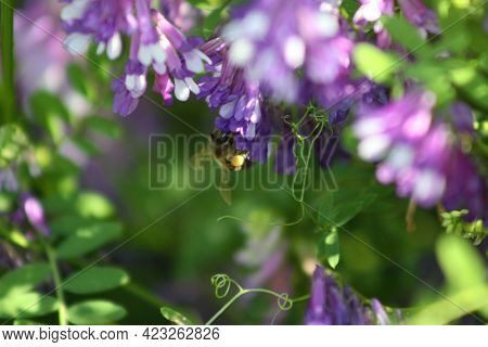 Bee On Hairy Vetch On Bloom Close-up View
