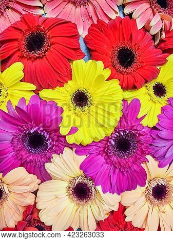 Colorful Background Of Summer Flowers .gerbera Flower, Rainbow , Floral Background.greetings Or Post