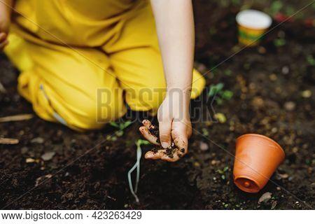 Close-up Of Hands Of Little Preschool Girl Planting Seedlings Of Sunflowers In Garden. Toddler Child