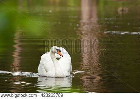 Close-up White Swan Majestically Swims Along The Calm Surface Of The Lake. Natural Photography With