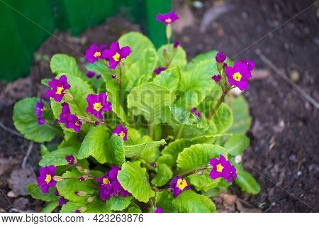 Small Purple Flowers With Yellow Center And Green Leaves. Beauty In Nature, Flowering Plant In Sprin