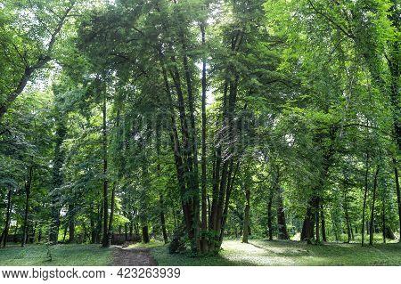 Multiple Trunks Tree (multi Trunks Tree Or Multi-stem Tree) In A Forest In Romania.