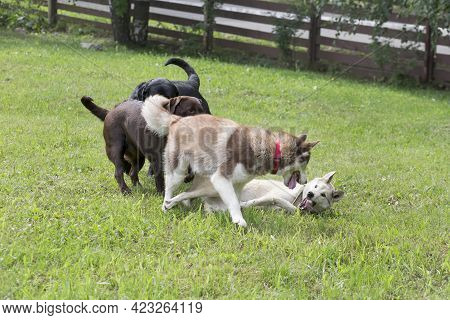 Siberian Husky, West Siberian Laika And Two Labrador Retriever Puppies Are Playing On A Green Grass
