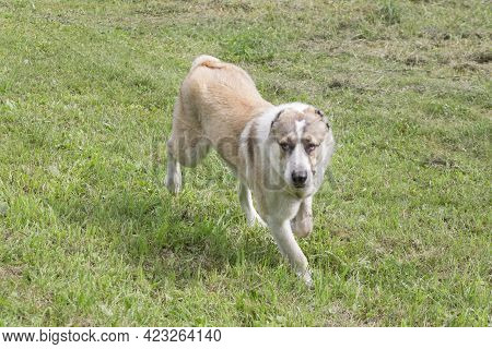 Central Asian Shepherd Dog Puppy Is Running On A Green Grass And Looking At The Camera. Pet Animals.