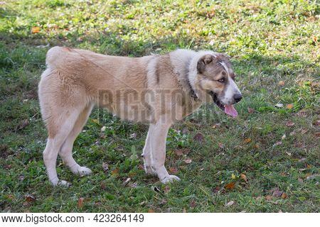 Cute Central Asian Shepherd Dog Puppy Is Standing On A Green Grass In The Summer Park. Pet Animals.