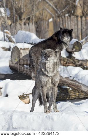 Cute Black Canadian Wolf Is Standing On A White Snow And Looking At The Camera. Canis Lupus Pambasil