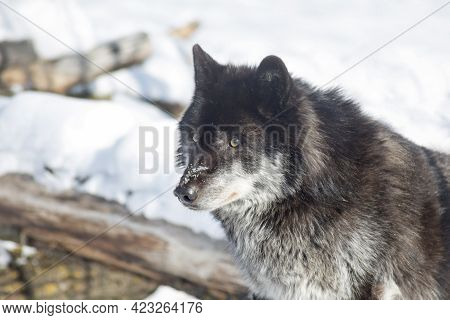 Wild Black Canadian Wolf Is Standing On A White Snow And Looking Away. Canis Lupus Pambasileus. Anim